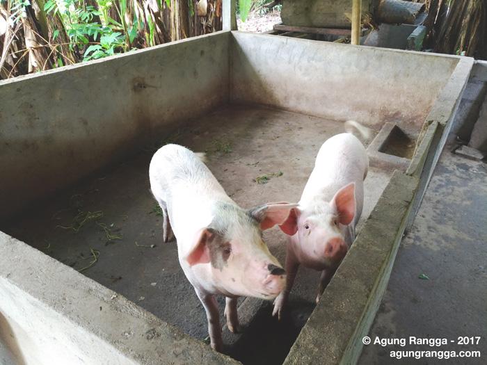 Download 6000 Gambar Ekor Babi Terbaru HD